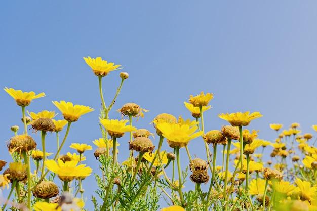 Many blurred yellow chamomile flowers