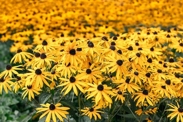 여름 화창한 날에 그룹에서 성장하는 많은 밝은 노란색 rudbeckia 꽃