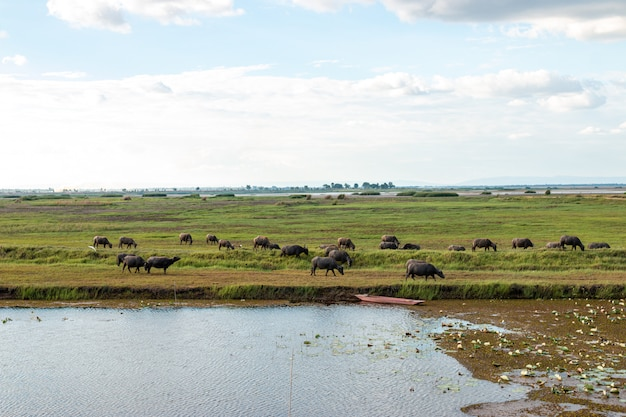 Many buffalo are eating grass in wetlands.