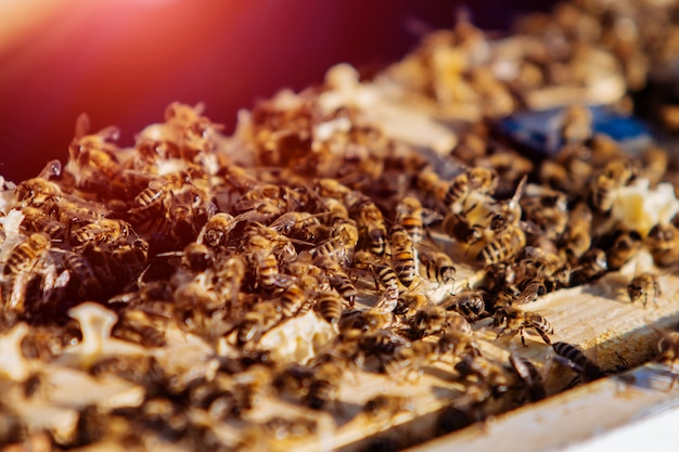 Many busy bees working and crawling on the frames in the beehive.
