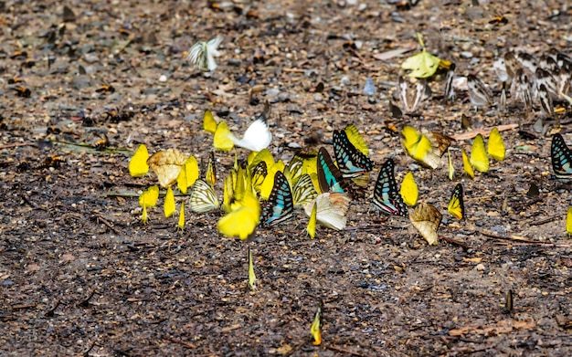 Many of butterflies on the ground