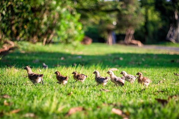 多くの雛が整列し、左側の緑の草の上を歩いています。