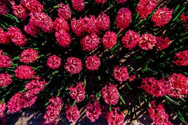 春の日差しの下で成長する多くのカラフルなヒヤシンス