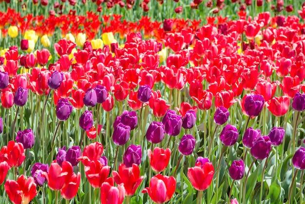 公園の野原にたくさんの色とりどりのチューリップ