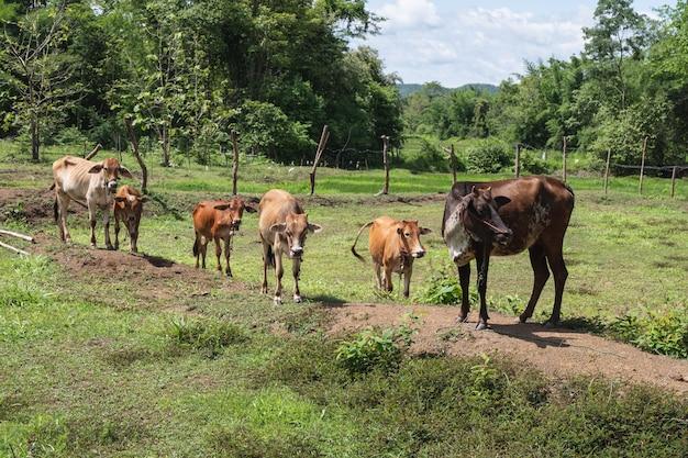 Многие коровы пасутся на лугу.
