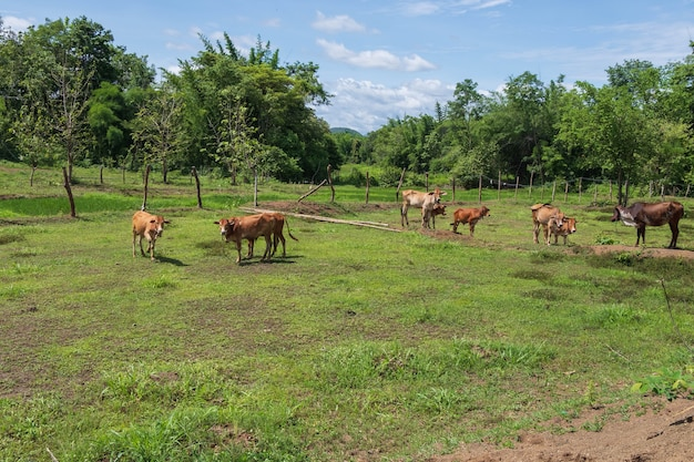 Many cows are grazing in the meadow.