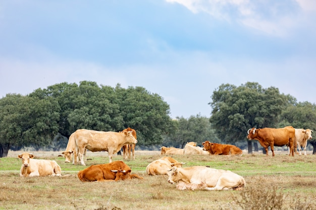Many cows grazing and resting