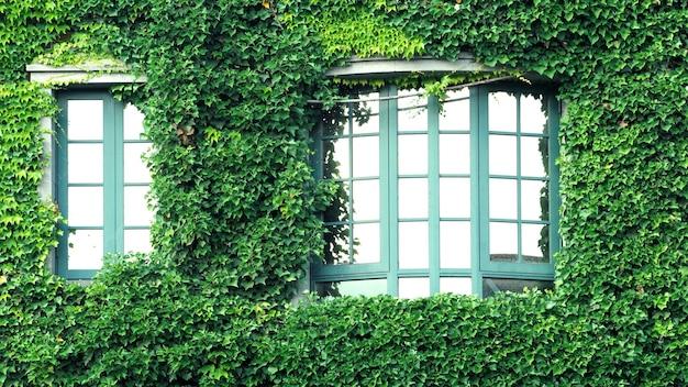 Много гусеничных зеленых листьев мексиканской ромашки покрывают всю старую стену и окно европейскими
