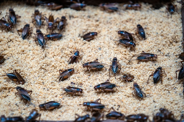 Many crickets in a insect farm in dalat