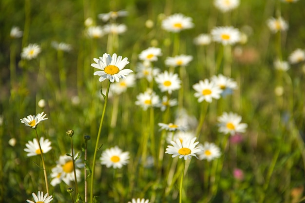 Many daisies on a green meadow