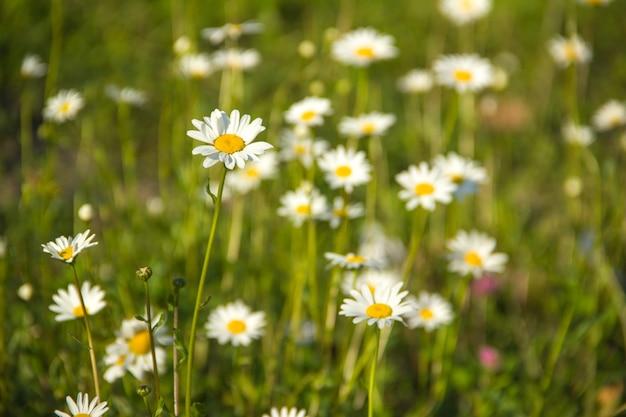 緑の牧草地にたくさんのデイジー