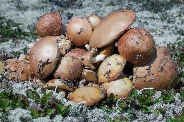 가을 툰드라에서 이끼와 풀 사이에서 수집된 많은 맛있는 갓 야생 식용 버섯