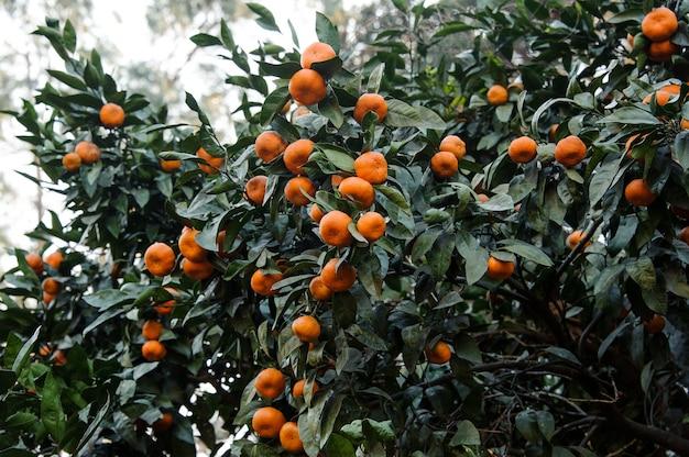 Многие вкусные мандариновые плоды на сочных зеленых листьях дерева. зачатие весны, новой жизни в природе.