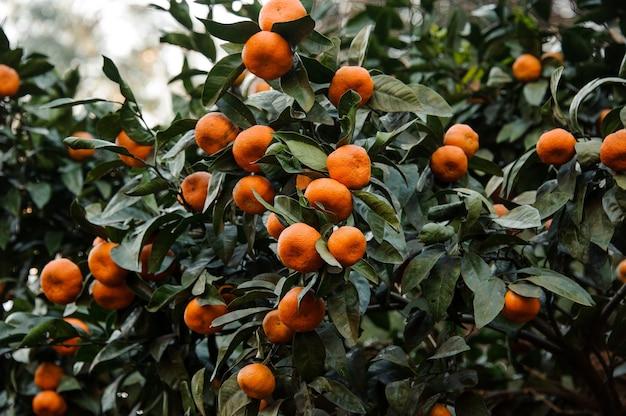 Множество восхитительных мандариновых фруктов на сочных ветвях. зачатие весны, новой жизни в природе.