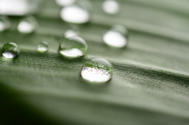 Many drops of water drop on banana leaves