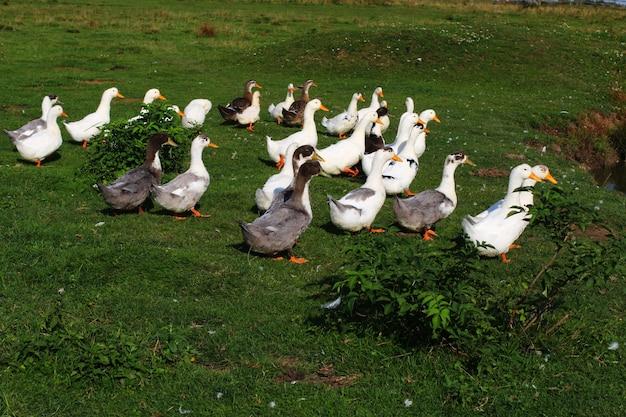 여름에 목초지에서 많은 오리