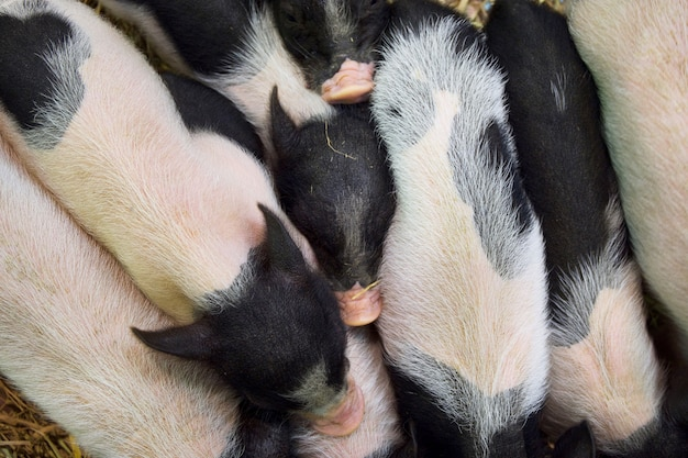 Many dwarf pig pink skin with black spotted standing on straw. top view.