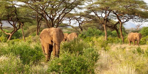 Многие слоны идут по кустам в джунглях