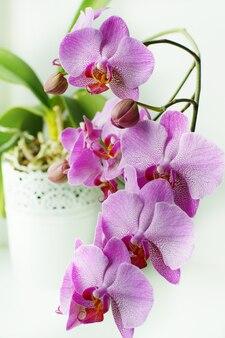 白い植木鉢にピンクの蘭の花やつぼみがたくさん。