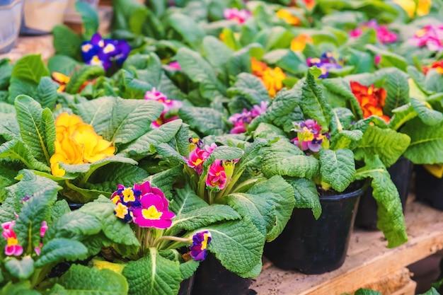 화분에 담긴 많은 꽃 앵초는 꽃집에서 판매됩니다. 선택적 초점. 자연.