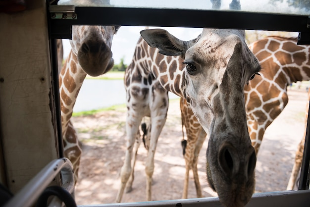 Many giraffes poke face into tourist bus window to ask for food at safari park in kanchanaburi, thailand. famous travel destination zoo in thai.