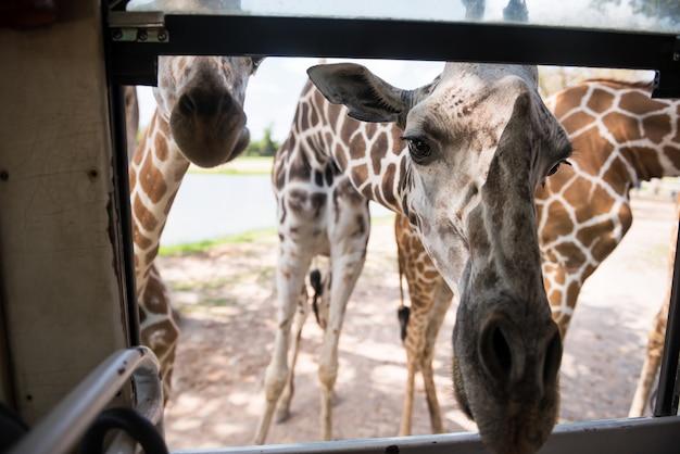 Многие жирафы высовываются лицом в окно туристического автобуса, чтобы попросить еды в сафари-парке в канчанабури, таиланд. известный зоопарк назначения путешествия на тайском языке.