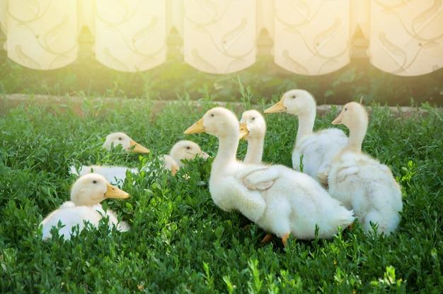 Многие гусята пасутся на зеленом лугу