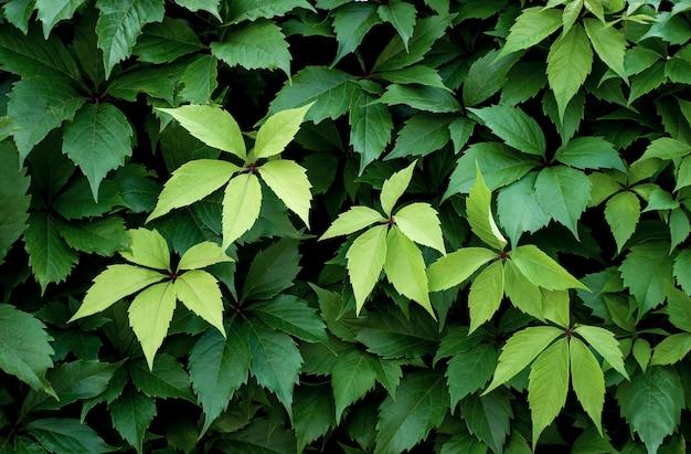 Много виноградных листьев. естественный фон