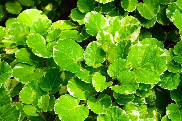 Many green leaves on a tree in the garden with soft sunlight.