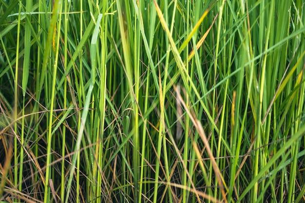 У многих зеленых рисовых растений на листьях есть капли росы.