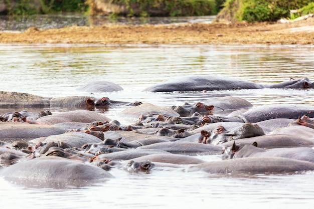アフリカ、ケニアのマサイマラ国立公園のマサイ川に生息する多くのカバ。野生動物。