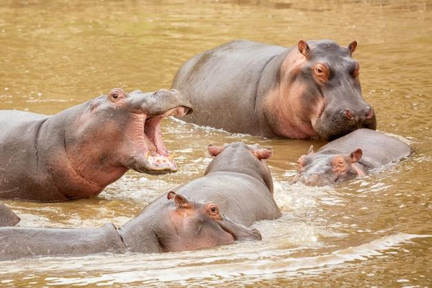アフリカ、ケニアのマサイマラ国立公園のマサイ川の多くのカバ。