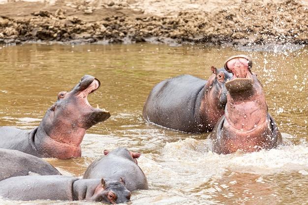 아프리카 케냐의 마사이 마라 국립공원에 있는 마사이 강에 있는 많은 하마. 야생 동물. 아프리카의 하마.