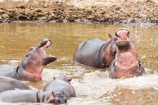 Many hippos in masai river at masai mara national park in kenya, africa. wildlife animals. hippopotamus in africa.