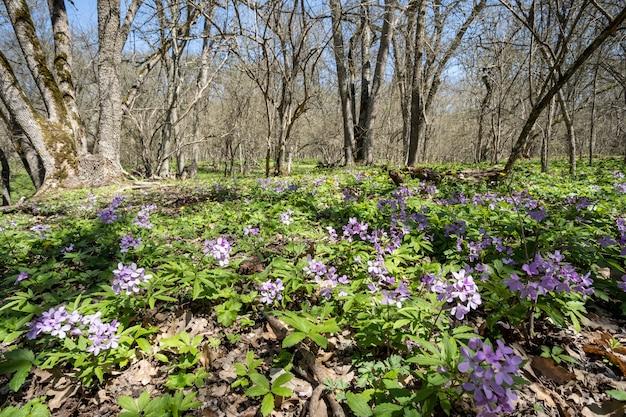 나무들 사이의 숲에 많은 망각의 꽃이 핌 봄 꽃 허브의 향기와 wi...