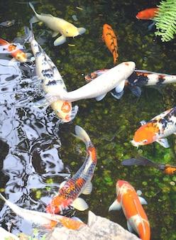 Many koi fish in water