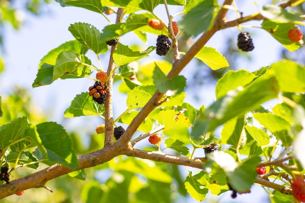Many ladybirds on mulberry berries. insect invasion, benefit and harm.