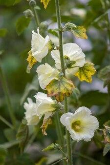 Множество крупных белых цветов, похожих на колокольчики, на одном стебле. стебель с волосками. листья блеклые. фон зеленый размытым. выборочный фокус. вертикальная рамка.