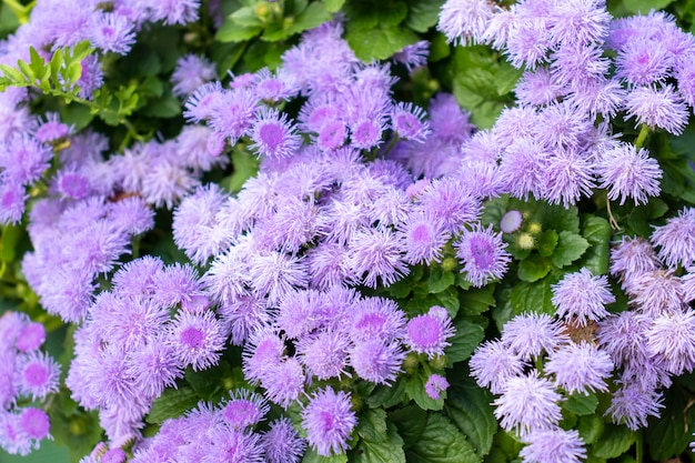Many lilac violet flowers as a background