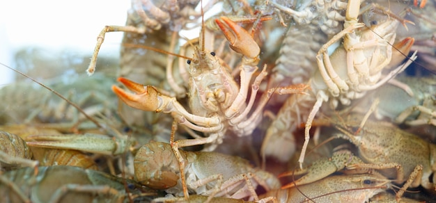 Many live crayfish swim in water many crustaceans in a store aquarium