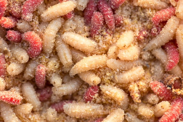 Many living larvae , maggots in a box for winter fishing
