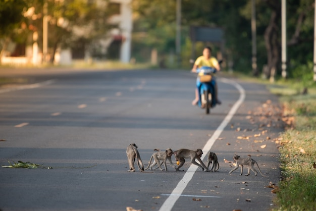 Many monkeys are playing on the road