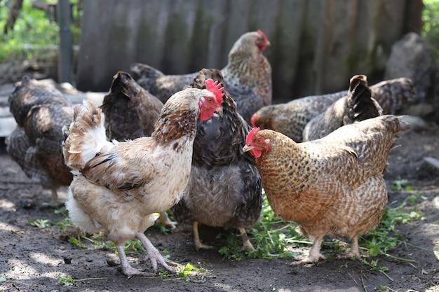 시골 농장 농업 개념에 많은 여러 가지 빛깔의 국내 닭