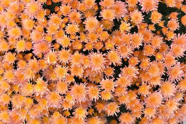 多くのオレンジ色の菊がクローズアップ