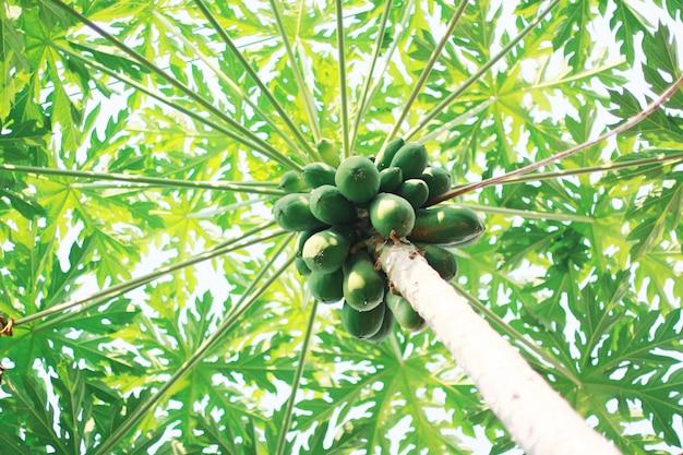 Many papaya fruits on the papaya tree in garden farm