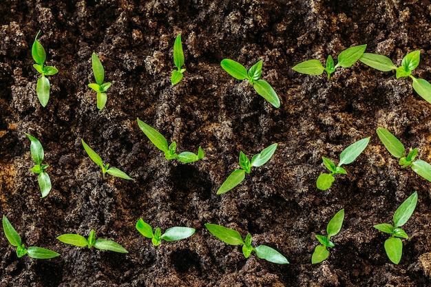 Many pepper seedlings for planting in the garden