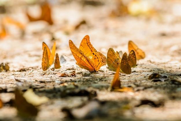 Many pieridae butterflies gathering water on floor
