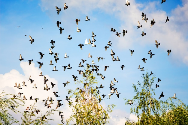 Many pigeons fly on the against the clouds in the blue sky