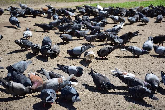 다양한 색깔의 많은 비둘기들이 땅에서 흩어진 음식을 먹는다