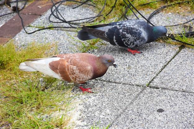 Many pigeons sits on in street (columba livia domestica)